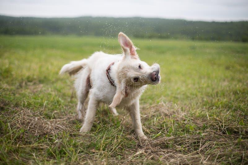 Retrato del perro divertido y feliz del golden retriever que sacude su cabeza en el campo imagen de archivo libre de regalías