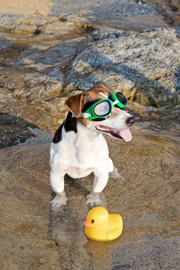 Retrato del perro en vidrios y aletas que nadan fotografía de archivo libre de regalías