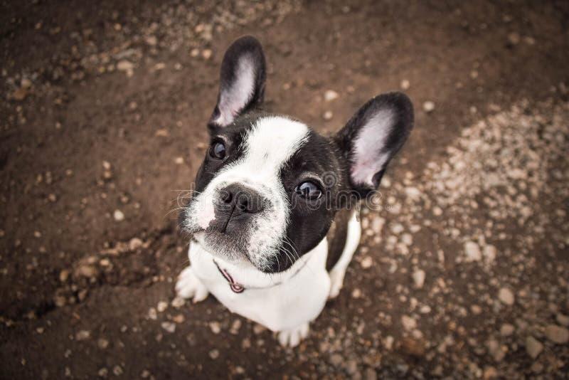 Retrato del perro francés del toro Él se está sentando en la marga imagenes de archivo