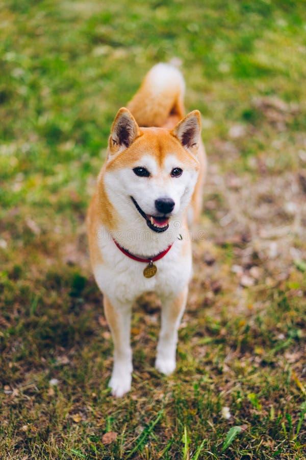 Retrato del perro lindo del inu del shiba que mira la situación de la cámara en hierba verde en parque imagen de archivo