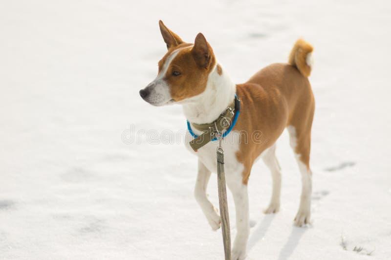 Retrato del perro maduro de Basenji que se coloca en una nieve fresca fotografía de archivo libre de regalías