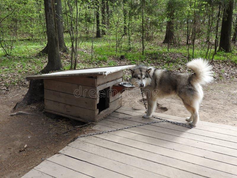 Retrato del perro magn?fico del husky siberiano que se coloca en el bosque encantador brillante de la ca?da fotos de archivo