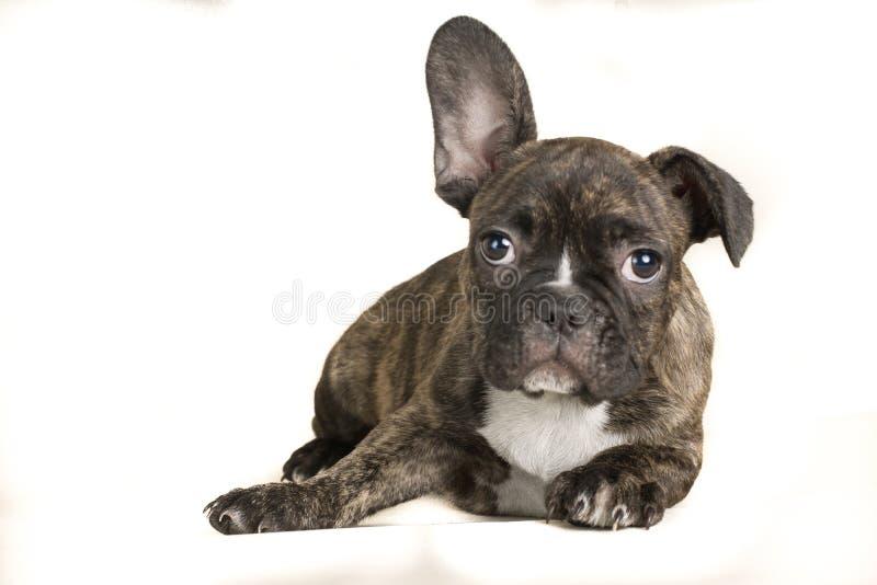 Retrato del perro marrón fullbody de mentira del dogo francés - espacio del texto a la izquierda fotos de archivo