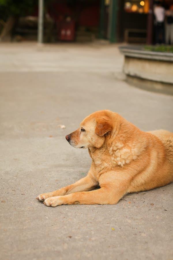Retrato del perro marrón o rojo triste lindo que miente o que descansa encendido sobre el asfalto en foco selectivo fotos de archivo libres de regalías