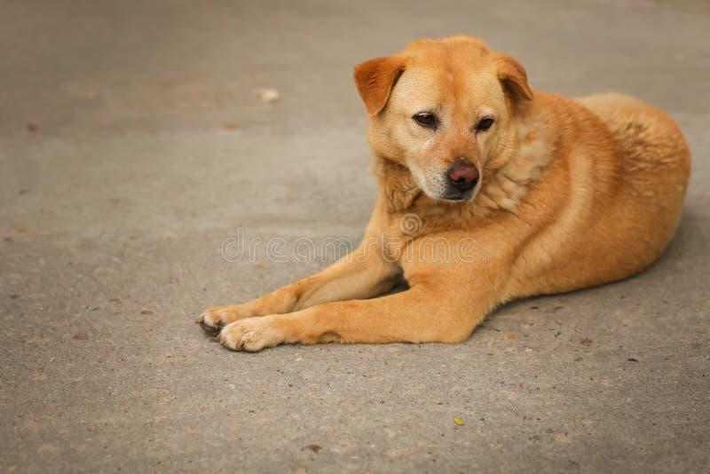 Retrato del perro marrón o rojo triste lindo que miente o que descansa encendido sobre el asfalto en foco selectivo fotografía de archivo