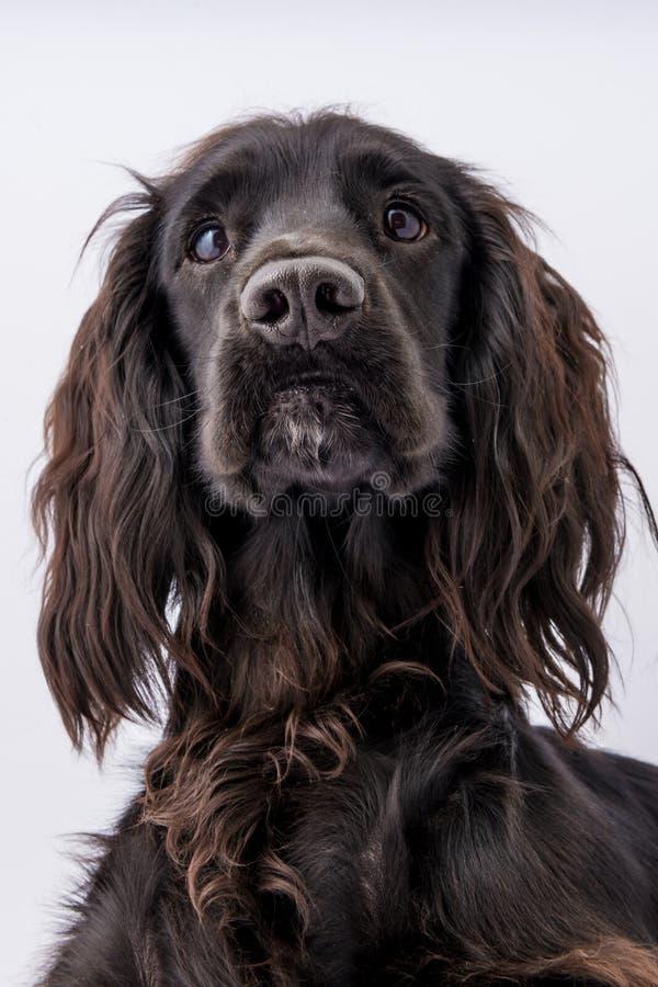 Retrato del perro negro joven de cocker spaniel fotos de archivo libres de regalías