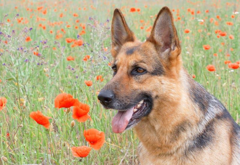 Retrato del perro pastor de Alemania fotos de archivo