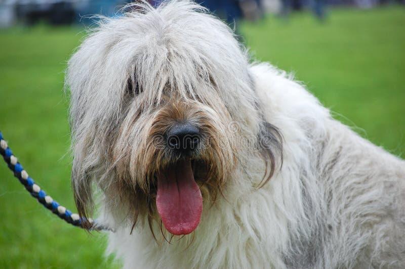 Retrato del perro pastor inglés foto de archivo