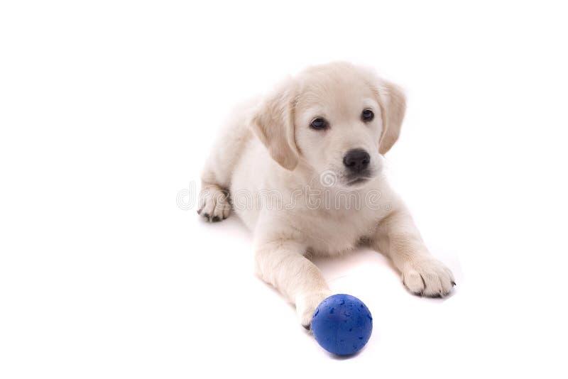 Retrato del perro perdiguero de oro del bebé imágenes de archivo libres de regalías