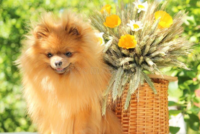 Retrato del perro pomeranian precioso con las flores en verano en fondo del verde de la naturaleza imagen de archivo libre de regalías
