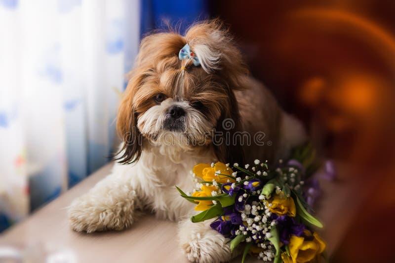 Retrato del perro del tzu de Shi con un ramo de flores fotos de archivo