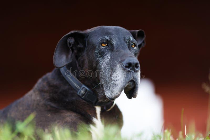 Retrato del perro viejo fotografía de archivo libre de regalías