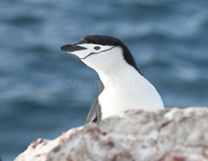 Retrato del pingüino antártico que mira hacia fuera sobre el acantilado. foto de archivo
