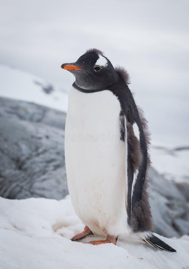 Retrato del pingüino de Gentoo en la nieve Pen?nsula ant?rtica imagen de archivo