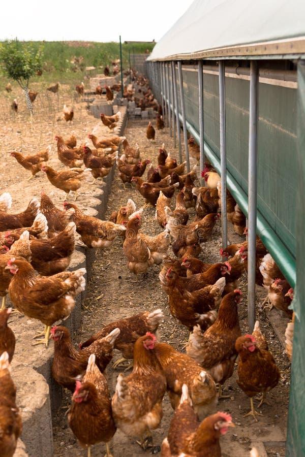 Retrato del pollo en una granja orgánica de las aves de corral libres típicas de la gama imágenes de archivo libres de regalías