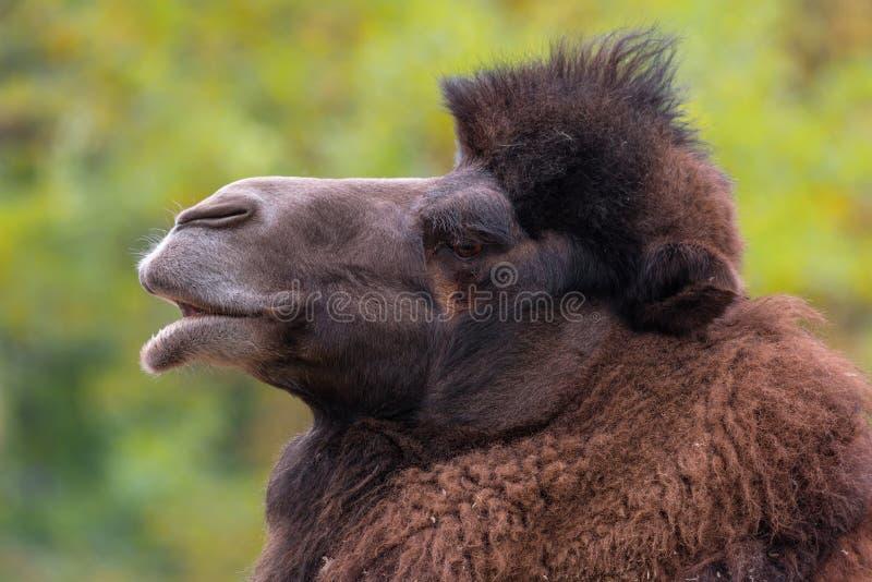 Retrato del primer del bactrianus del Camelus del camello bactriano fotos de archivo
