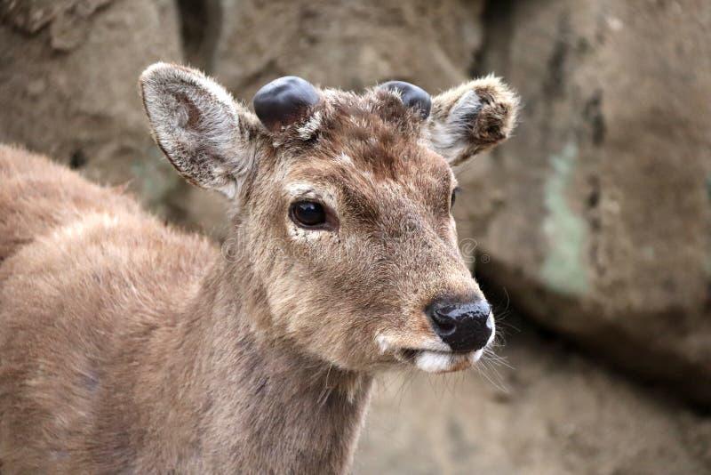Retrato del primer del Cervus nipón de los ciervos del sika foto de archivo libre de regalías