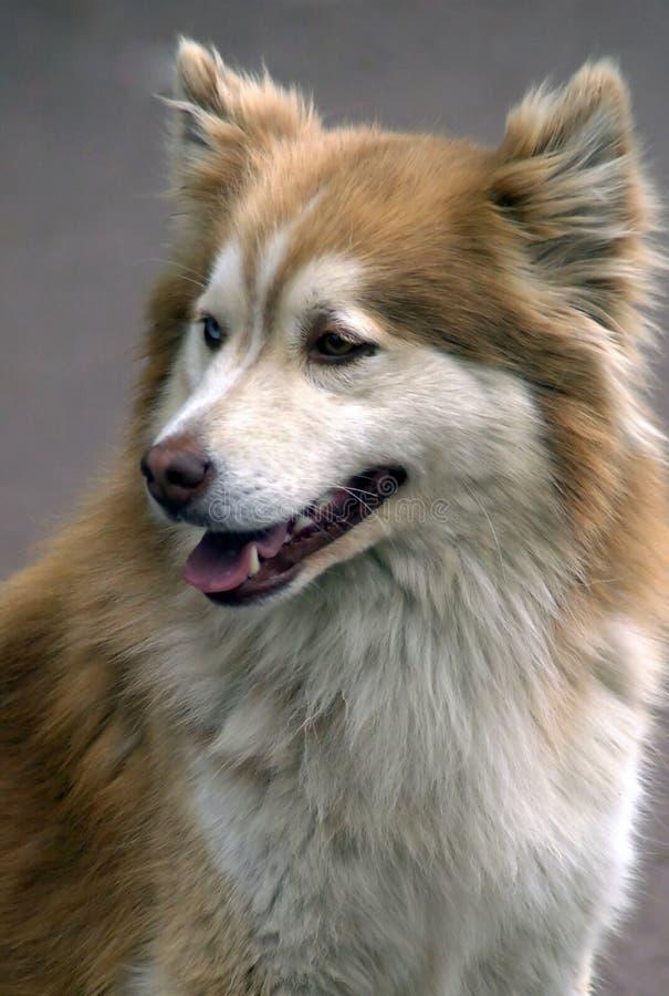 Retrato del primer de dog-2 imagenes de archivo