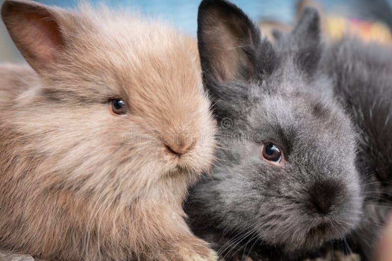 Retrato del primer de dos conejos de abrazo jovenes imágenes de archivo libres de regalías
