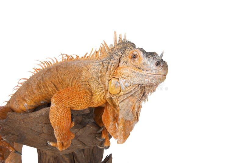 Retrato del primer de la iguana imágenes de archivo libres de regalías