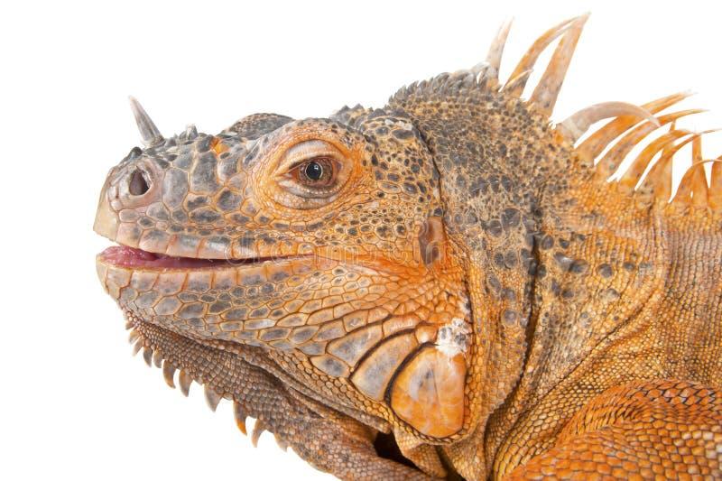 Retrato del primer de la iguana fotografía de archivo