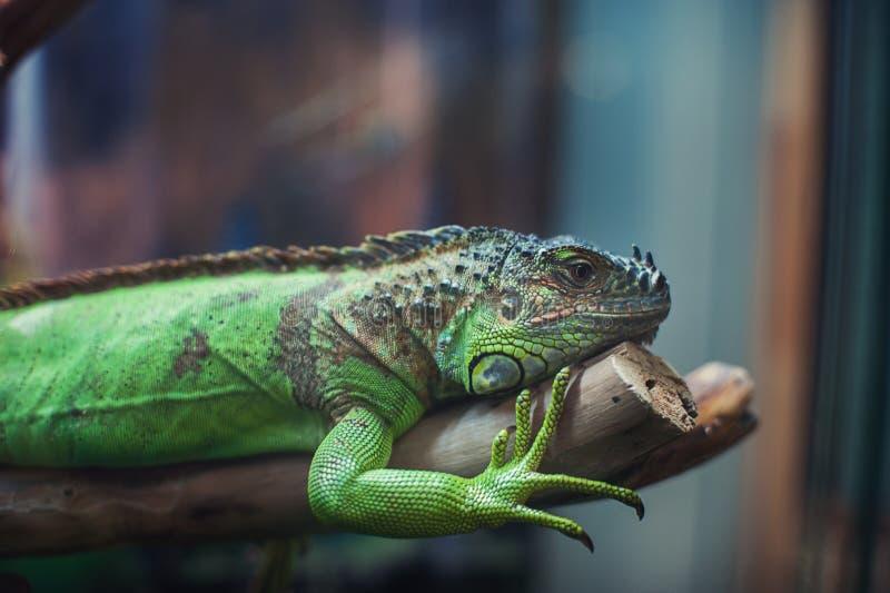 Retrato del primer de la iguana fotografía de archivo libre de regalías