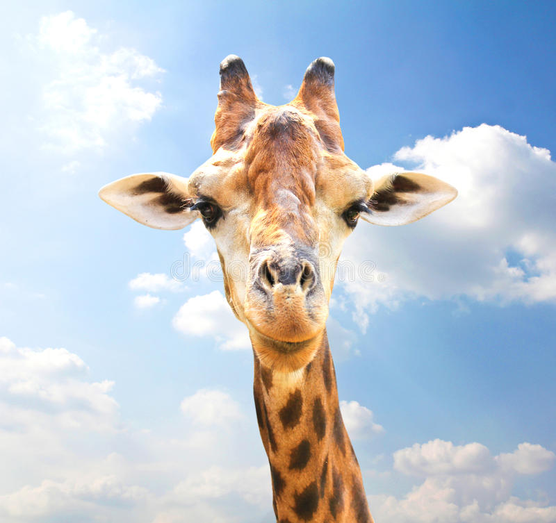 Retrato del primer de la jirafa foto de archivo