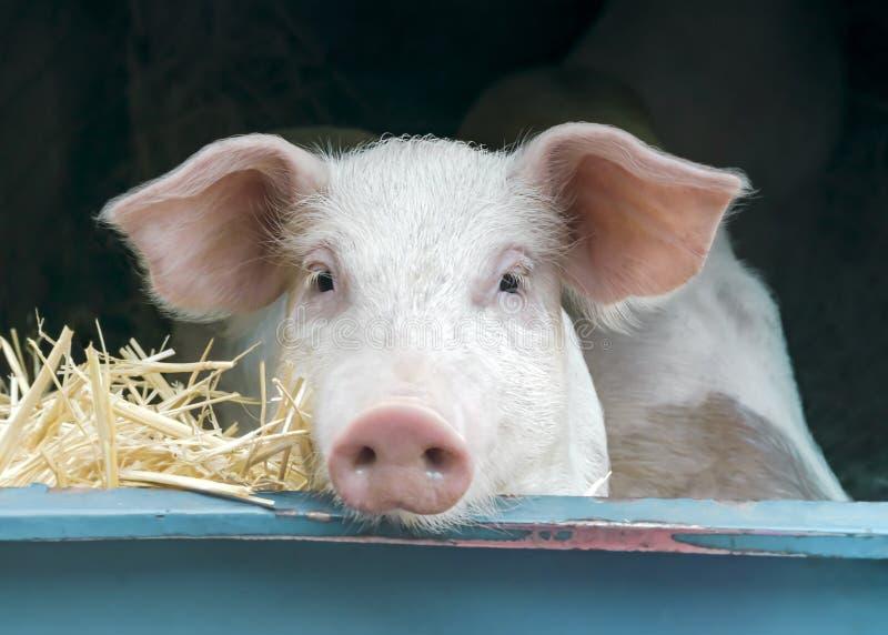 Retrato del primer de la vista delantera del cerdo rosado blanco curioso lindo de la raza de la carne en venta en el mercado loca fotos de archivo libres de regalías