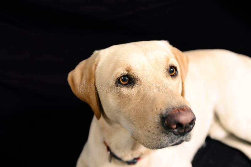 Retrato del primer de Labrador rubio en fondo negro imagen de archivo libre de regalías