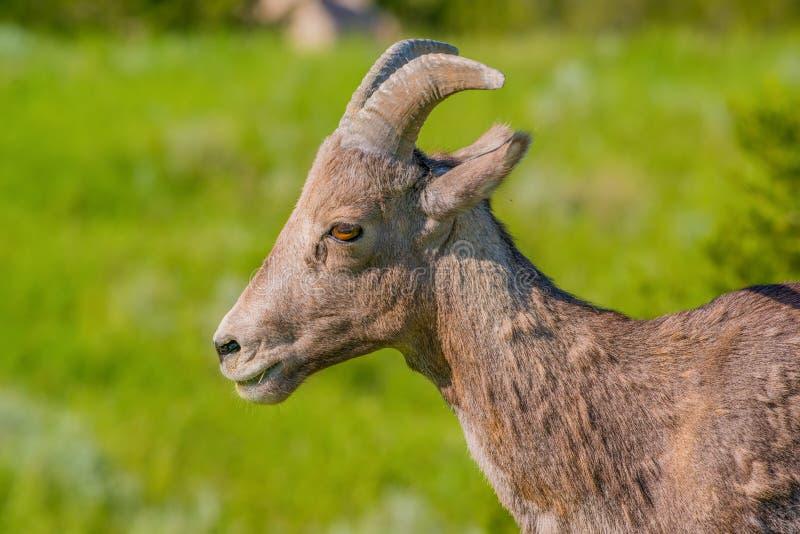 Retrato del primer de las ovejas de carnero con grandes cuernos en un área montañosa del parque nacional de los Badlands fotografía de archivo