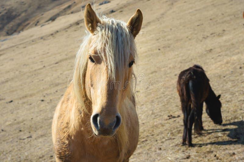 Retrato del primer de un caballo beige contra la perspectiva de una manada de caballos en pastos amarillos del otoño de la montañ foto de archivo libre de regalías