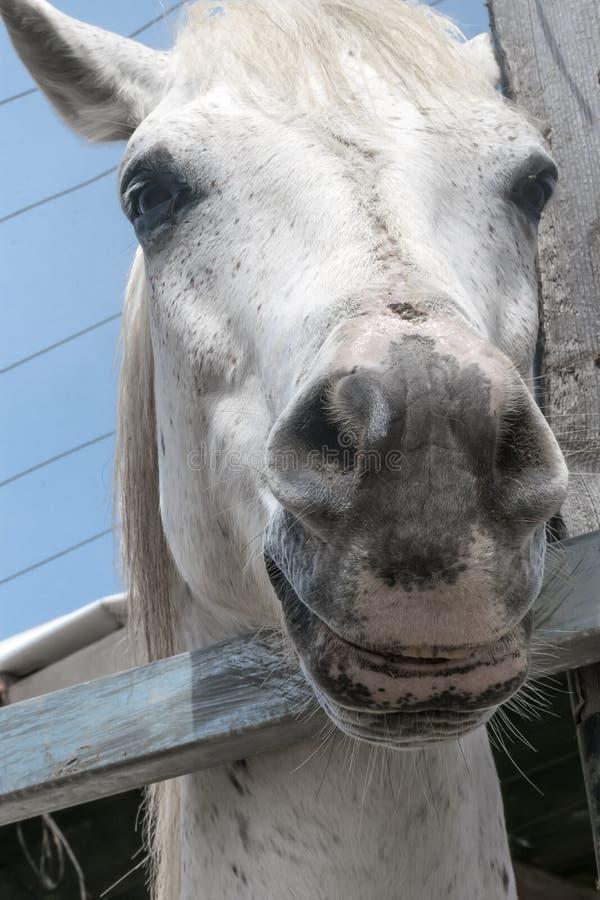 Retrato del primer de un caballo blanco que se coloca en una parada Bozal de un caballo que mira en cámara imagen de archivo