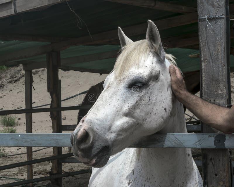 Retrato del primer de un caballo blanco que se coloca en una parada Bozal de un caballo que mira el lado izquierdo La mano del ho imagen de archivo libre de regalías