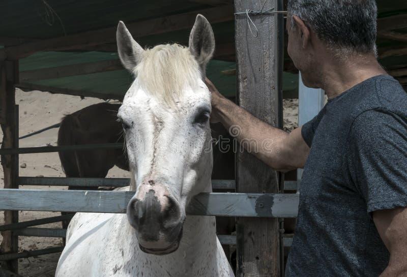 Retrato del primer de un caballo blanco que se coloca en una parada Hombre que frota ligeramente un animal imagenes de archivo