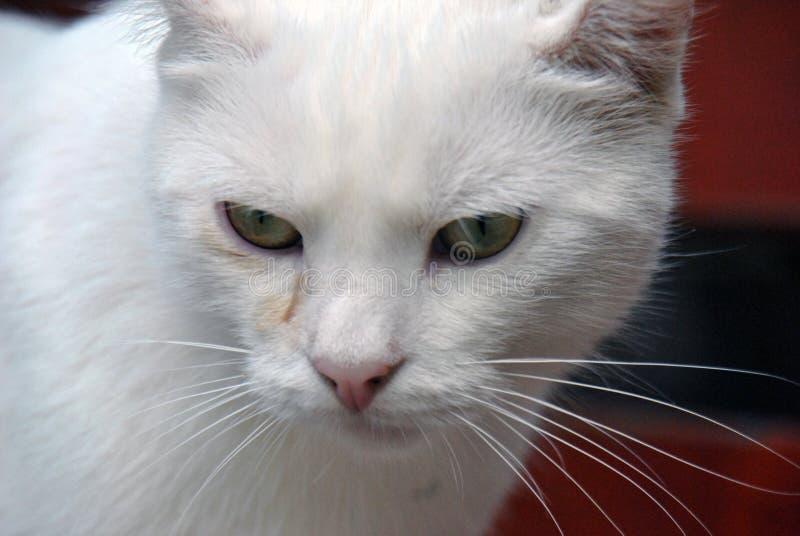 Retrato del primer de un gato de casa con mientras que piel fotografía de archivo