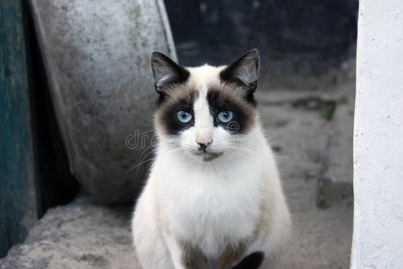 Retrato del primer de un gato, con los ojos azules y la piel clara imagen de archivo
