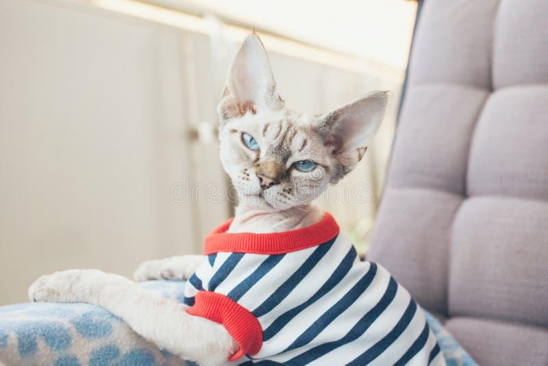 Retrato del primer de un gato divertido de Devon Rex con los ojos azules, fotografía de archivo