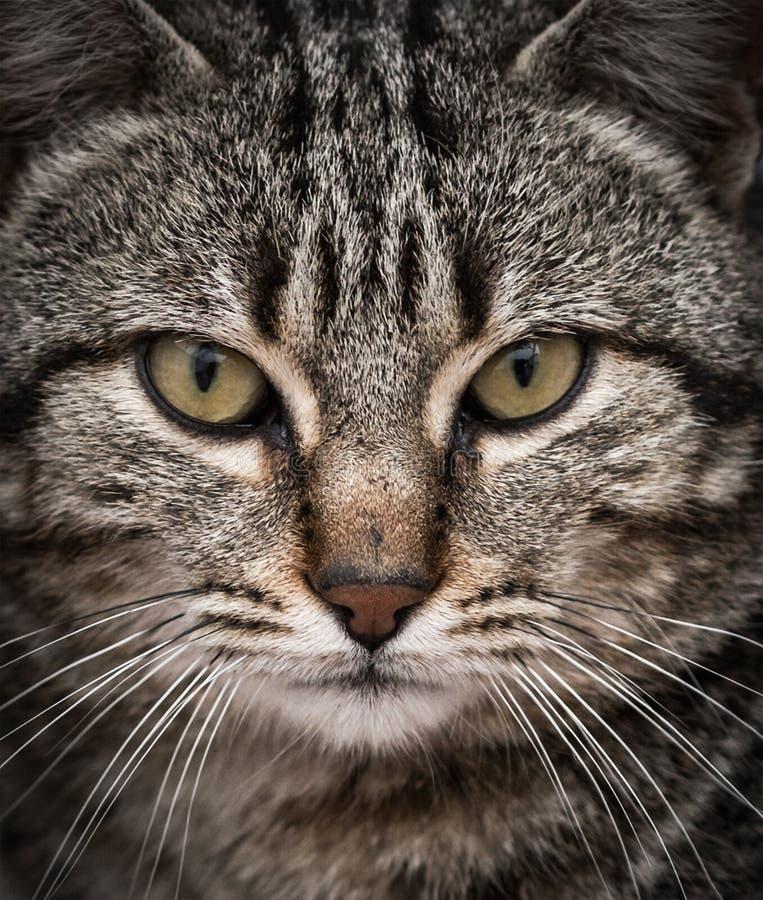 Retrato del primer de un gato lindo que mira derecho la cámara fotos de archivo
