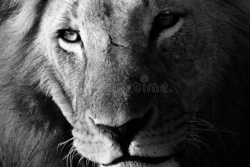 Retrato del primer de un león masculino en blanco y negro fotos de archivo