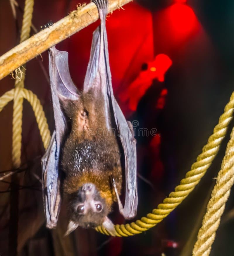 Retrato del primer de una especie del zorro de los lyle que vuela, tropical y vulnerable del palo de Asia, animal nocturno de Hal imagen de archivo