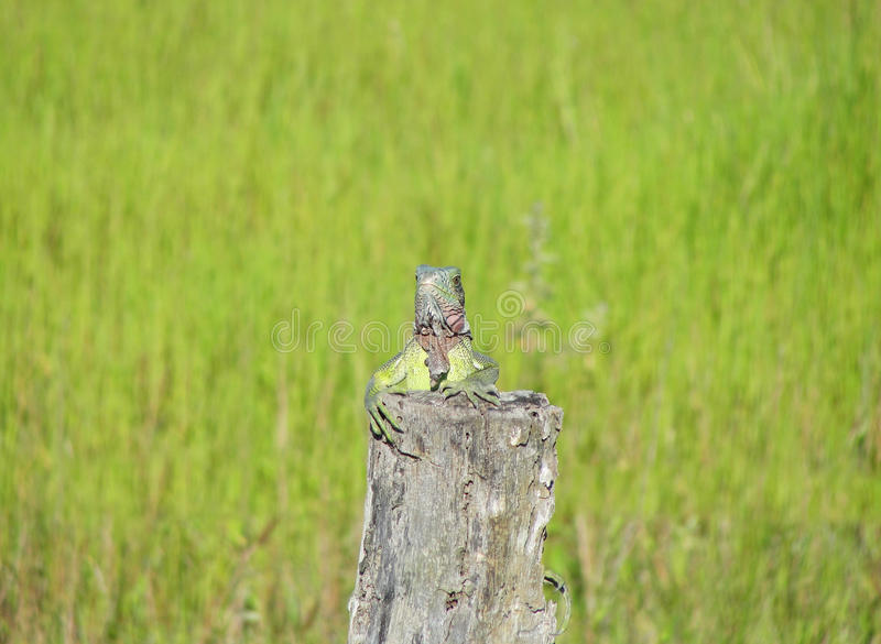 Retrato del primer de una iguana verde fotografía de archivo
