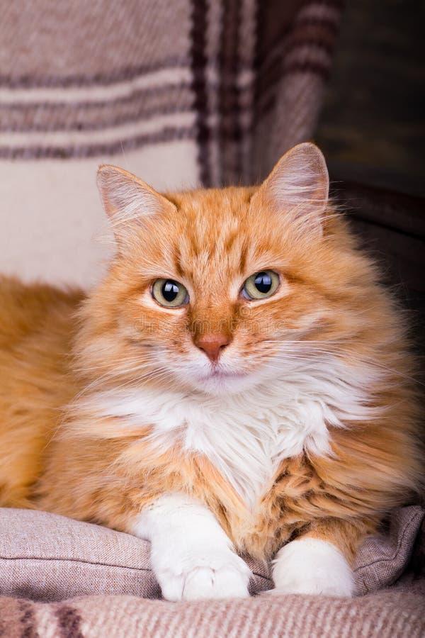 Retrato del primer del gato rojo-dirigido casero en la tela escocesa imágenes de archivo libres de regalías