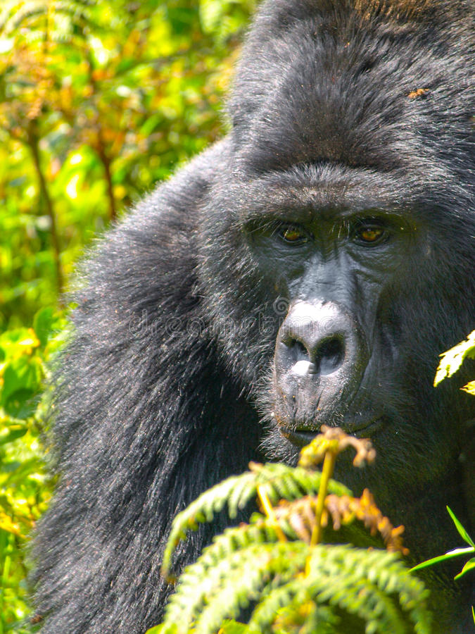 Retrato del primer del gorila masculino en la selva imagen de archivo