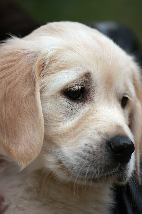 Retrato del primer del perrito triste Labrador fotografía de archivo