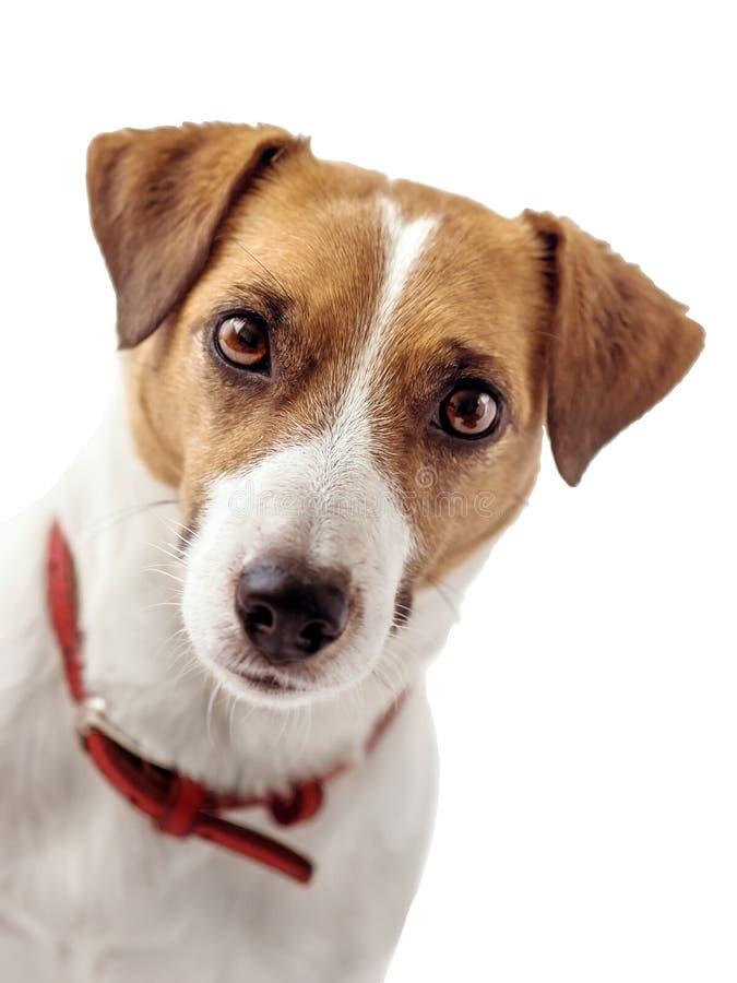 Retrato del primer del perro curioso de Jack Russell Terrier, fondo del blanco de A Aislado foto de archivo