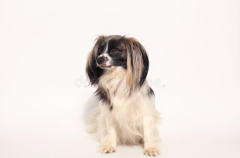 Retrato del primer del perro de Papillon fotos de archivo