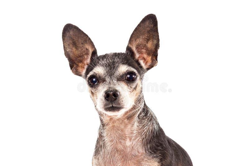 Download Retrato Del Primer Del Perro Lindo De La Chihuahua Imagen de archivo - Imagen de mamífero, oídos: 41920319