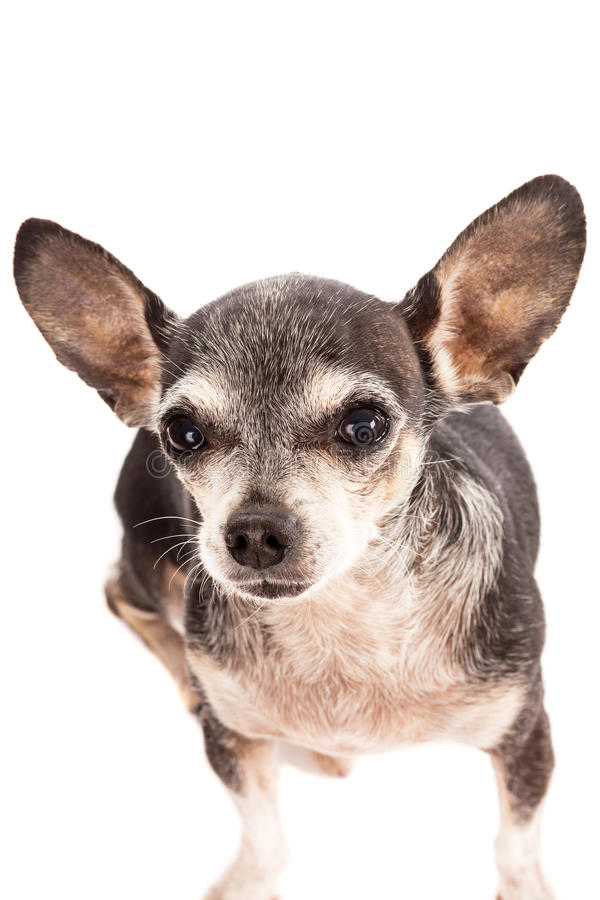 Download Retrato Del Primer Del Perro Lindo De La Chihuahua Imagen de archivo - Imagen de oídos, manera: 41920365