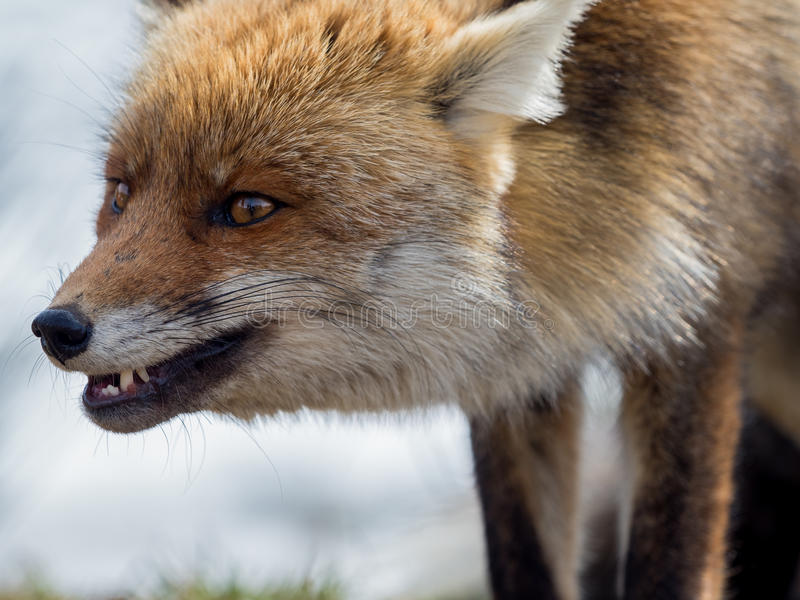 Retrato del primer del zorro rojo (vulpes del Vulpes) fotografía de archivo