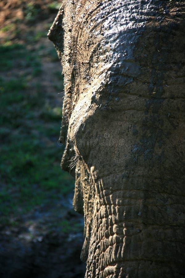 Retrato del primer del elefante africano con la cara parcial en cambio que se enciende fotos de archivo libres de regalías